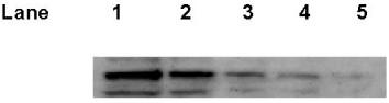 Western blot - p53 antibody [PAb 1801] (ab28)