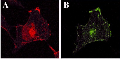 Immunocytochemistry/ Immunofluorescence - Anti-GFP antibody - ChIP Grade (ab290)