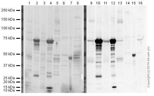 Western blot - Anti-Glucose Transporter GLUT4 antibody (ab654)