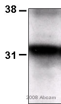 Western blot - Thymidine Kinase  antibody [3B3.E11] (ab988)