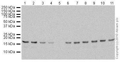Western blot - Anti-Histone H3 (tri methyl K4) antibody [mAbcam1012] - ChIP Grade (ab1012)