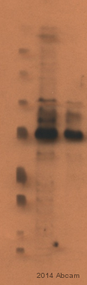 Western blot - Anti-p53 antibody [DO-1] (ab1101)