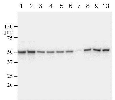 Western blot - Anti-p53 [DO-1] antibody (ab1101)