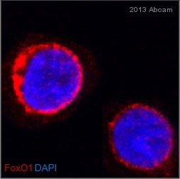 Immunocytochemistry/ Immunofluorescence - Anti-FOXO1A antibody (ab1102)
