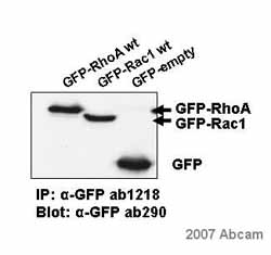Immunoprecipitation - Anti-GFP antibody [9F9.F9] (ab1218)