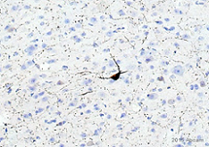 Immunohistochemistry (Formalin/PFA-fixed paraffin-embedded sections) - Anti-nNOS (neuronal) antibody (ab1376)