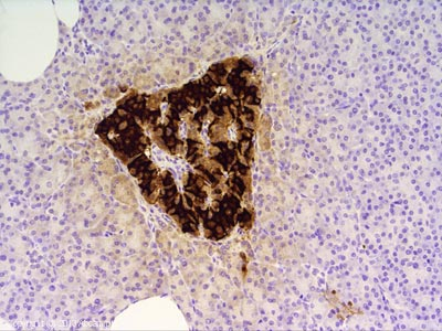 Immunohistochemistry (Formalin/PFA-fixed paraffin-embedded sections) - Anti-C Peptide antibody [4H8] (ab1975)