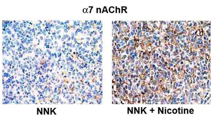 Immunohistochemistry (Formalin/PFA-fixed paraffin-embedded sections) - Anti-Nicotinic Acetylcholine Receptor alpha 7 antibody (ab10096)