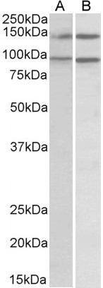 Western blot - Anti-p114RhoGEF antibody (ab10152)