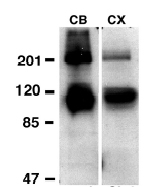 Western blot - Anti-Metabotropic Glutamate Receptor 3 antibody (ab10309)