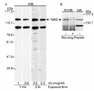 Western blot - Anti-RPB2 antibody - ChIP Grade (ab10338)