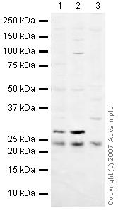 Western blot - HPRT antibody (ab10479)