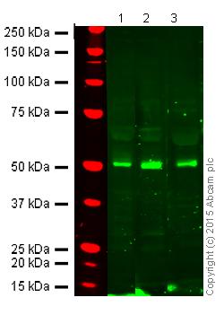 Western blot - Anti-FOXP3 antibody (ab10563)