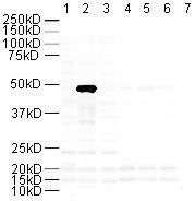 Western blot - FOXP3 antibody (ab10563)