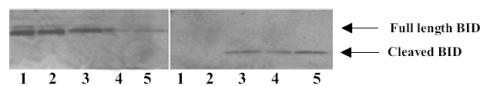 Western blot - Anti-Bid Cleavage Site antibody (ab10640)