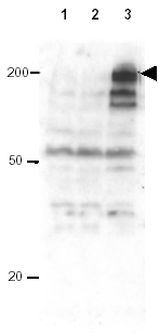 Western blot - Anti-Apc1 (phospho S355) antibody (ab10923)