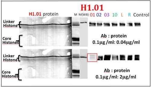 Western blot - Anti-Histone H1.01 antibody (ab100944)