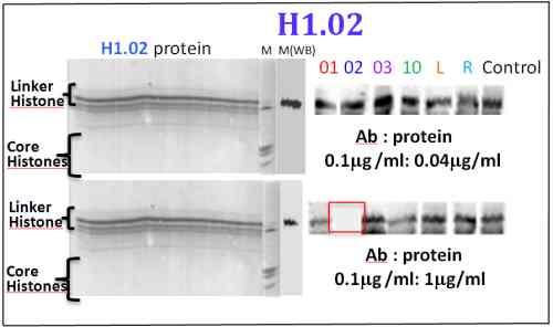 Western blot - Anti-Histone H1.02 antibody (ab100945)