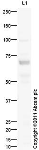 Western blot - Anti-KCND1 antibody (ab101065)