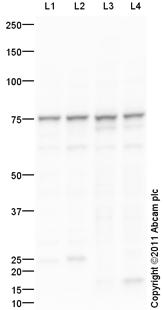 Western blot - Anti-KLC4 antibody (ab101190)