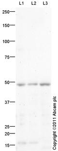 Western blot - Anti-TBX5 antibody (ab101227)