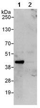 Immunoprecipitation - Anti-RING2 / RING1B / RNF2 antibody (ab101274)
