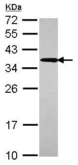 Western blot - Anti-UBC3B antibody (ab101338)