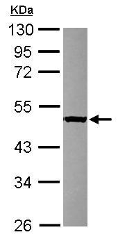Western blot - Anti-SERGEF antibody (ab101340)
