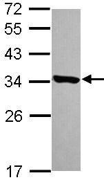 Western blot - Anti-HDHD3 antibody (ab101345)