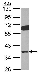 Western blot - Anti-GNB2 antibody (ab101367)