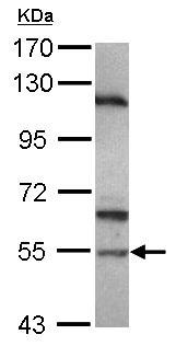 Western blot - Anti-SPAG6 antibody (ab101372)