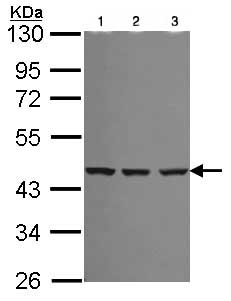 Western blot - Anti-Spermine synthase antibody (ab101458)