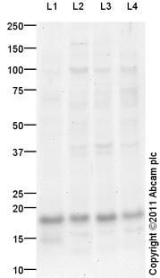 Western blot - Anti-MMS2 antibody (ab101475)