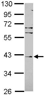 Western blot - Anti-Fbxl8 antibody (ab101516)