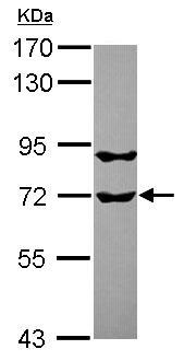 Western blot - Anti-RUFY1 antibody (ab101519)