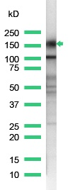 Western blot - Anti-CD43 antibody [SP55], prediluted (ab101534)