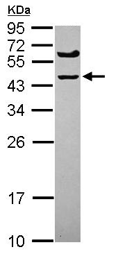 Western blot - Anti-SPRYD5 antibody (ab101581)