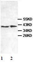 Western blot - Anti-Centaurin alpha 2 antibody (ab101675)