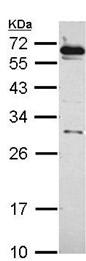 Western blot - Anti-HSF2 antibody (ab101844)