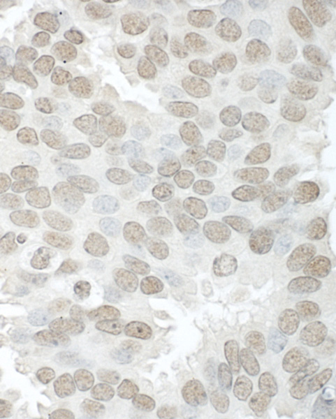 Immunohistochemistry (Formalin/PFA-fixed paraffin-embedded sections) - Anti-Aly antibody (ab101981)