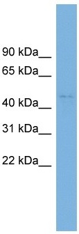 Western blot - Anti-C10orf30 antibody (ab102622)