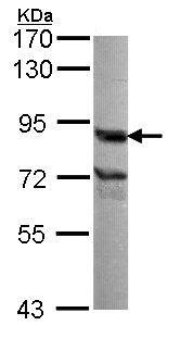 Western blot - Anti-Nuclear Matrix Protein p84 antibody (ab102684)