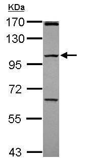 Western blot - Anti-PCDHGC4 antibody (ab102686)