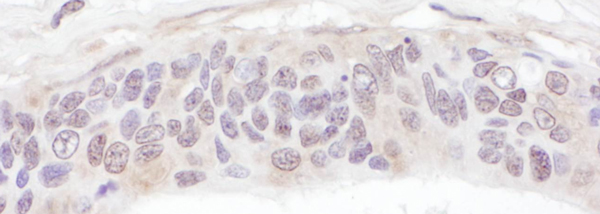 Immunohistochemistry (Formalin/PFA-fixed paraffin-embedded sections) - Anti-UBXN6 antibody (ab103525)