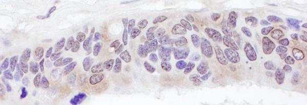 Immunohistochemistry (Formalin/PFA-fixed paraffin-embedded sections) - Anti-UBXN6 antibody (ab103526)