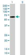 Western blot - CD44 antibody (ab103552)