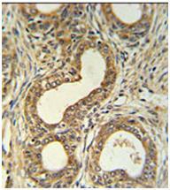 Immunohistochemistry (Formalin/PFA-fixed paraffin-embedded sections) - Anti-Robo4 antibody (ab103674)