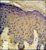 Immunohistochemistry (Formalin/PFA-fixed paraffin-embedded sections) - Anti-HAUS4 antibody (ab103709)