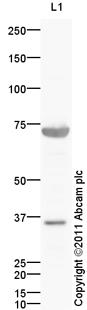 Western blot - Anti-FLRT1 antibody (ab103839)