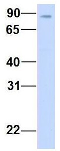 Western blot - Anti-KIFAP3 antibody (ab104052)